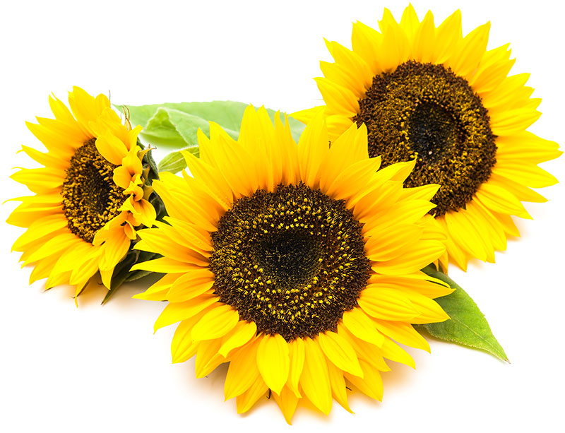 sunflower-inset